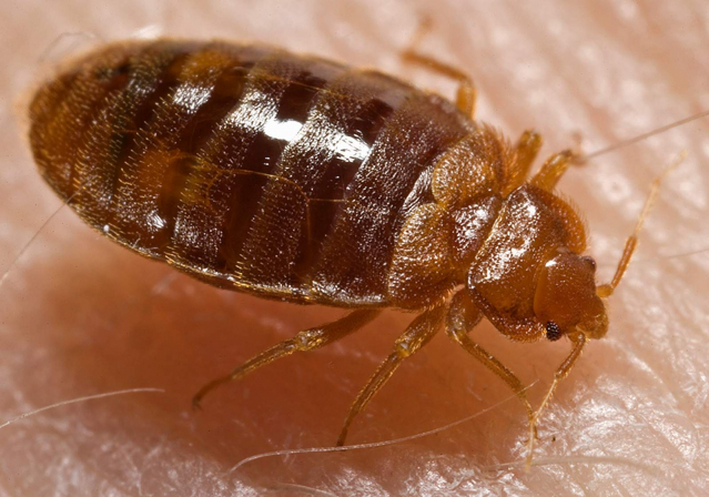 Bed bugs are reddish-brown, about the size of lentil, seen here on a hand