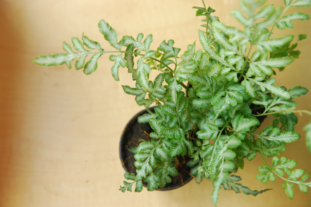 Fern houseplant