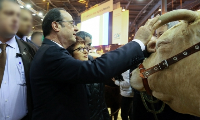 French president Francois Hollande pats a light-coloured bull on the horn at the Paris agriculture show