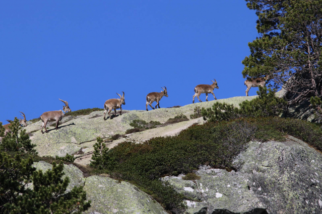 Ibex in the Pyrenees