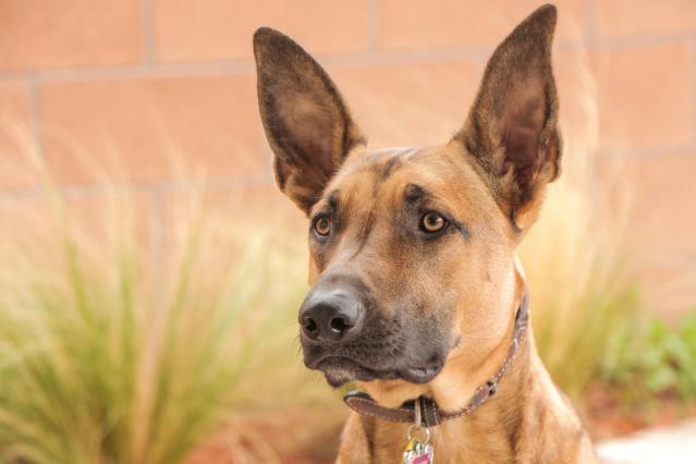 Malinois dog