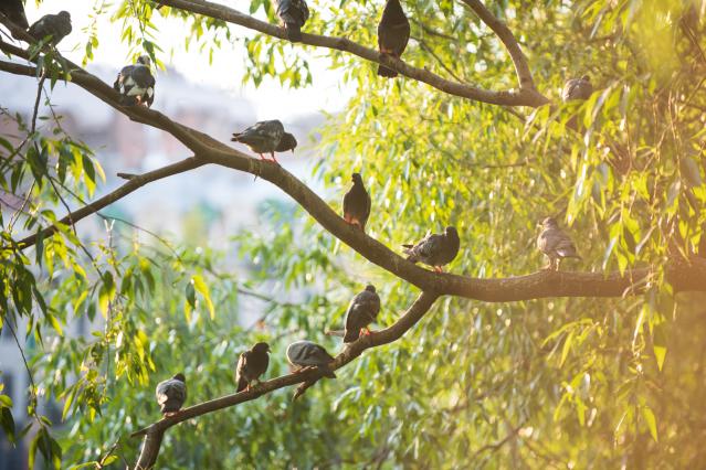 Pigeons in trees