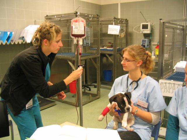 Blood transfusion on a bulldog
