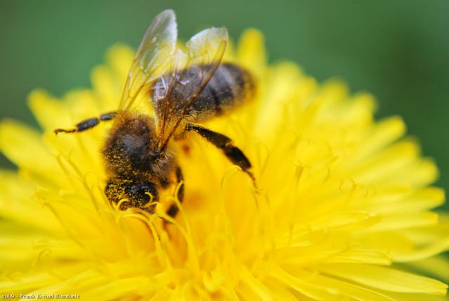 a bee gathering pollen on a dandelion flower