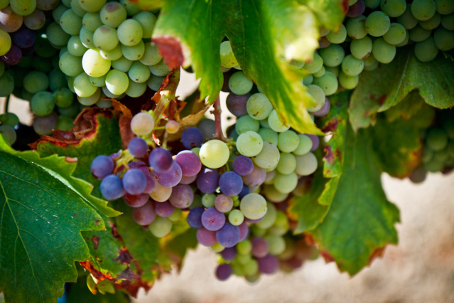 Generic images of grapes on the vine