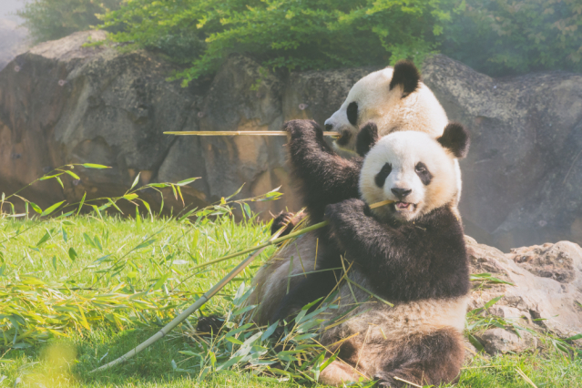 Pandas eating bamboo at Beauval Zoo in France