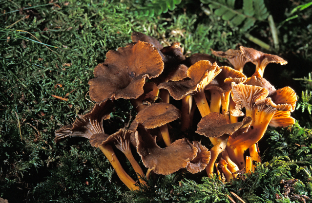 Autumn chanterelle mushrooms in the wild in Normandy, France