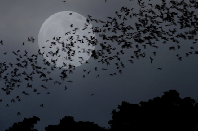 Group of bats flying past the moon