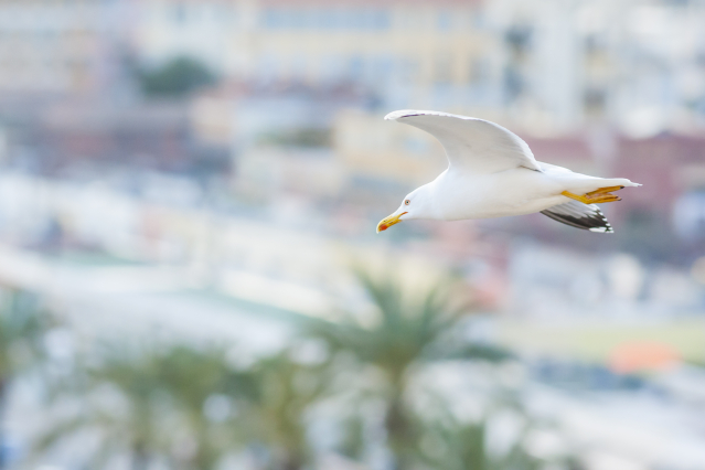Seagull flying over French Riviera