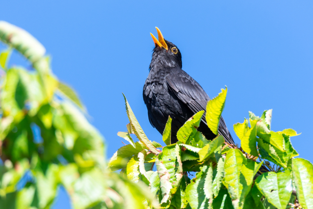 Common blackbird in a tree singing