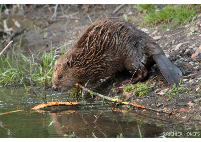 Beaver gnawing a stick near river