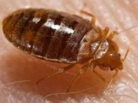 Bed bugs are reddish-brown and one is shown here on a hand