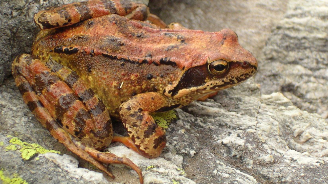a reddish-coloured frog sits on a grey stone