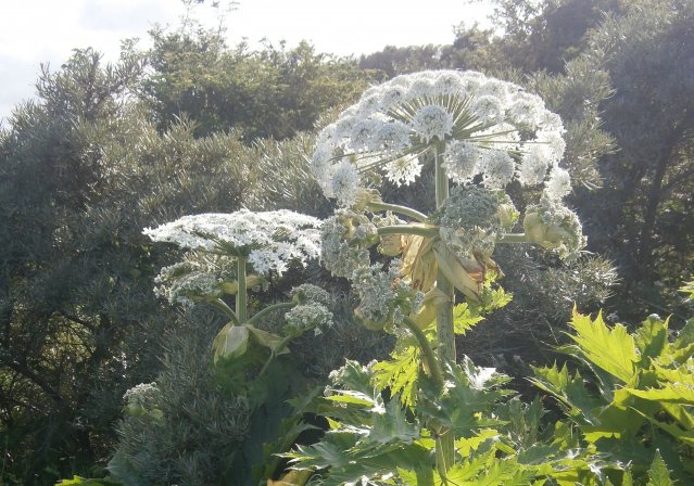 A giant hogweed plant in flower
