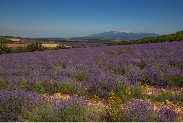 A field of lavender in the Vaucluse department of southeast France