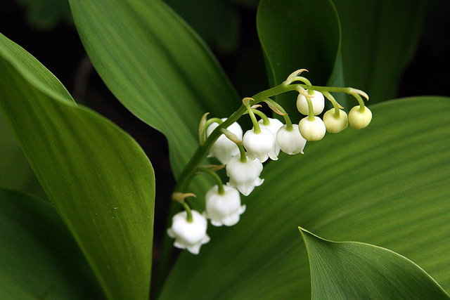 muguet or lily of the valley