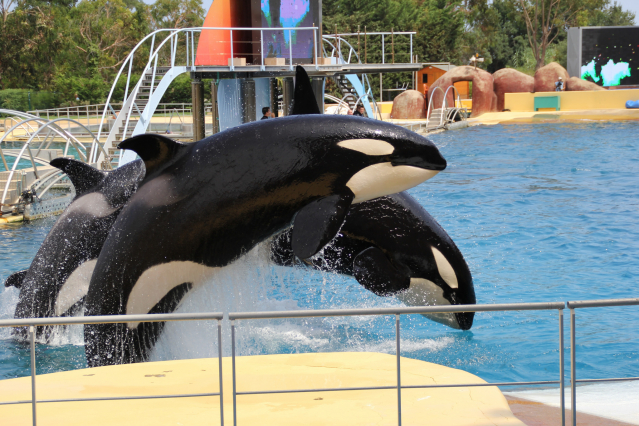 A pair of orcas jumping out of the water at Marineland Antibes