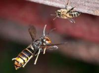 Asian hornet and bee photo:  Danel Solabarrieta CC BY-SA 2.0