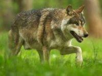 Wolves attack flock of sheep - Photo: GrottesdeHan