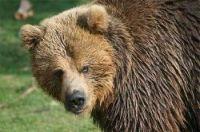 Balou, the brown bear