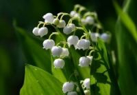Lily of the Valley flowers are given as a token of love and affection in France