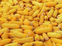 GM maize has attracted controversy in France for several years