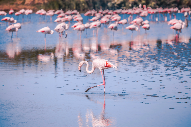 10 wildlife excursions to try in France. Pictured: flamingos wading in Camargue, France.