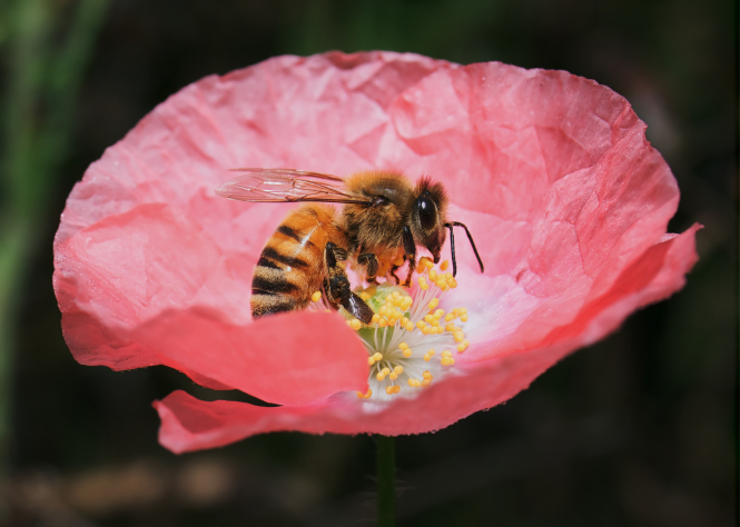 A bee sitting on a pink flower. A new French law approves an insecticide deadly for bees