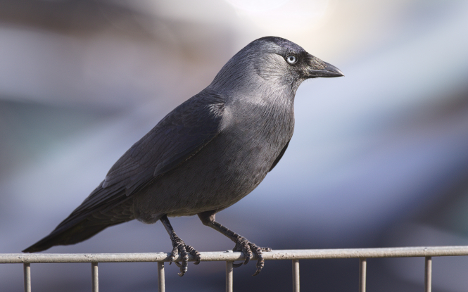 A jackdaw sitting on a fence. The british birds are destroying corn crops in Brittany, causing millions of euros worth of damage.