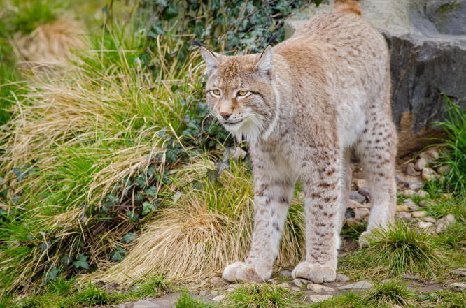 A lynx. Lynx killed by poachers in east France forest