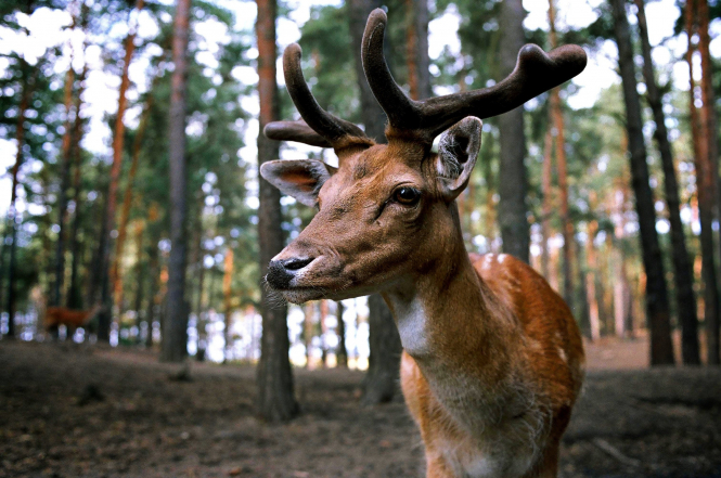 A young stag in a forest. An MP in France has suggested that hunted animals are replaced with robot versions.