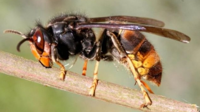 An Asian hornet. Public in France warned over low-hanging hornet nests after farmer dies