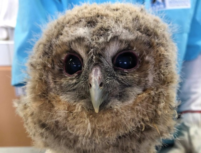 A baby owl. Hikers: Leave baby owls on ground, says French bird league