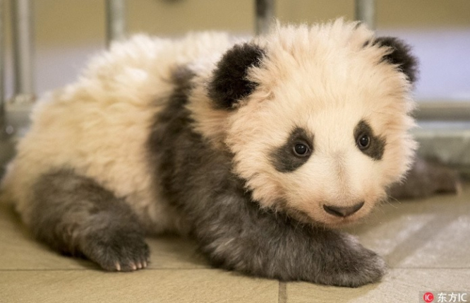 Fluff Ball Baby Panda Now Open For Public Viewing