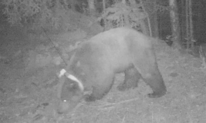Bear at night