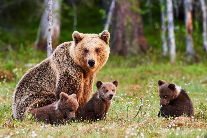Bear with three cubs. Wild mountain bear gives birth to three cubs in south-west France