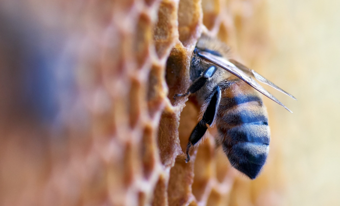 A bee poking its head into a honeycomb. Warm weather and confinement have created perfect conditions for honey production in France.