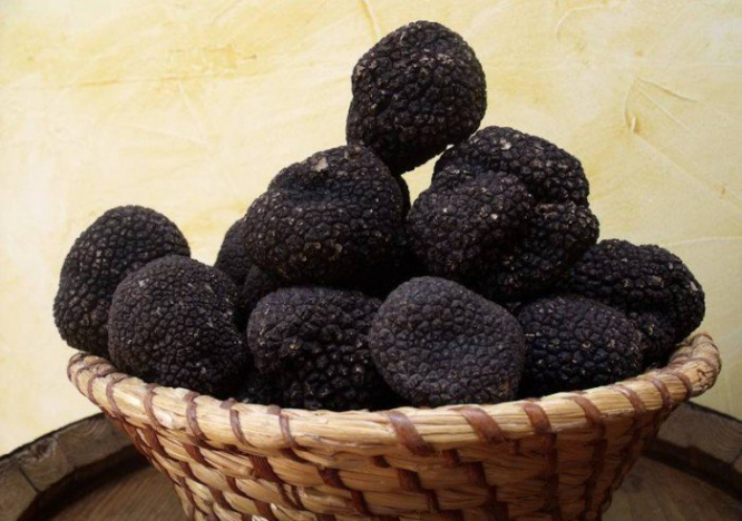 Black truffles in a basket. Truffle season begins in France despite hot summer and Covid