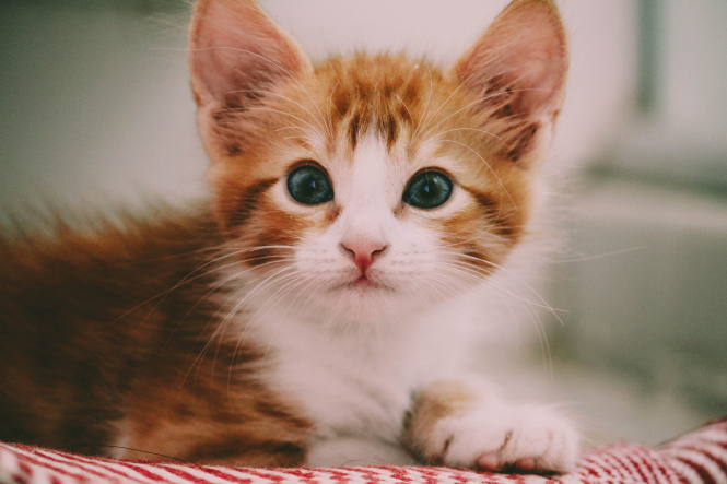 Brown and white kitten. 'Vaccinate your cat', say vets, as typhus spreads in France