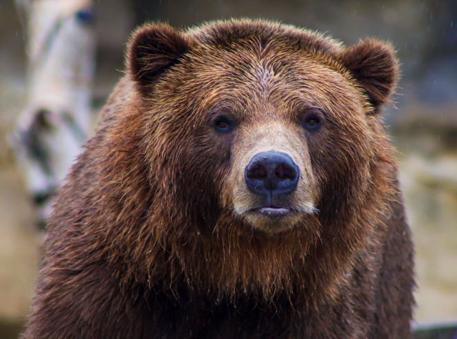 Close up of a brown bear's face. A reward is on offer for information about who shot a brown bear in the Pyrenees, France