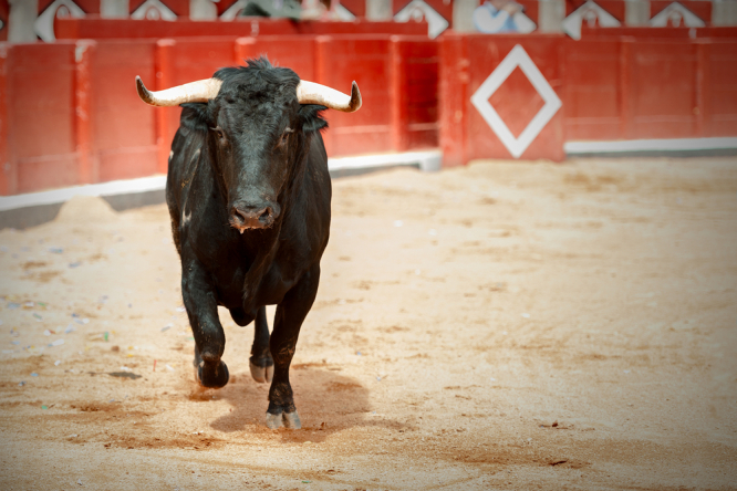 Bull running in fighting arena. Bardot wages poster war with mayor over bullfights in south of France