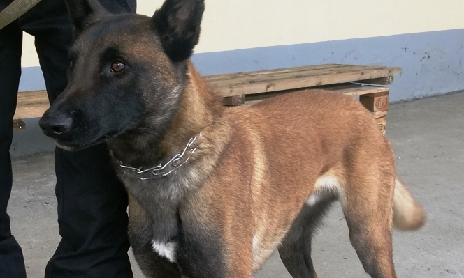 Dog with black face and ears and brown body - Malinois