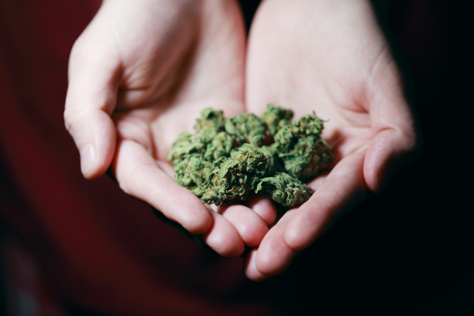 Cannabis flowers held in hands. France to ask public opinion on recreational cannabis