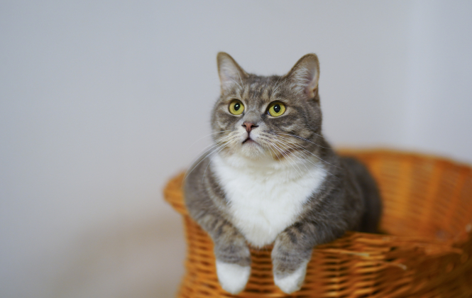 A grey and white domestic cat in a basket. Cats in France avoid 'harmful' label as proposal thrown out