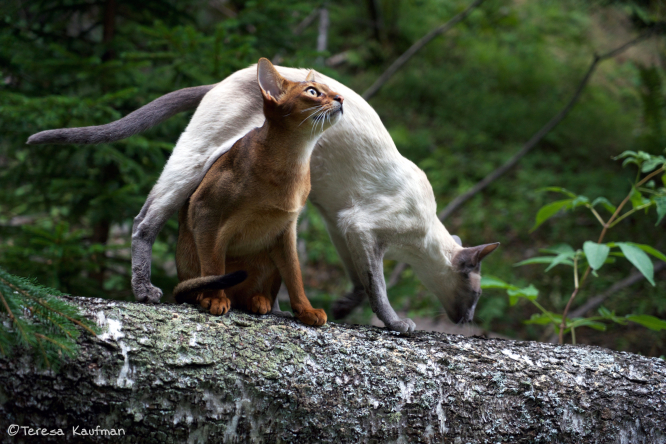 Brown cat and white cat on fallen tree in woods, brown cat is sitting looking up as white cat stretches over the top to pass