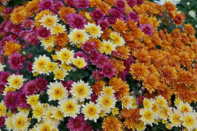 Why Chrysanthemums Are The French Flower Of The Dead