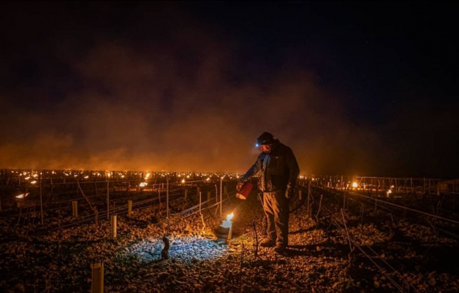 Freezing vines in France. French winemakers use fire and tea to protect vines amid record cold