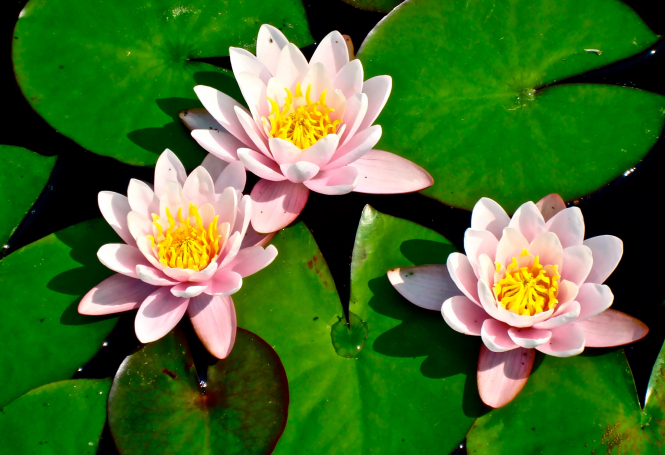 Connexion uncovers the story behind artist Monet's great passion, water lilies, and shares advice on growing your own.