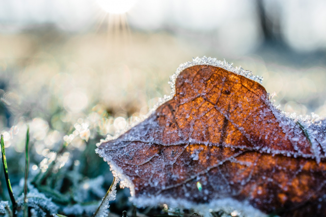 A dead leaf covered in frost. Cold snap as temperatures drop 5C lower than usual in France