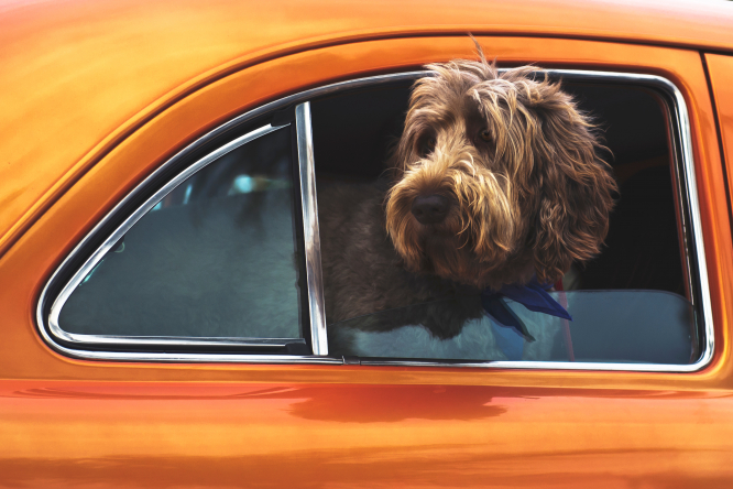 A dog with head out of a car window. The website Emmene ton Chien helps owners plan dog-friendly holidays in France.